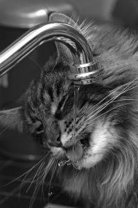 La leucemia en los gatos