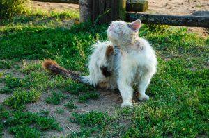 Cheyletiellas en gatos