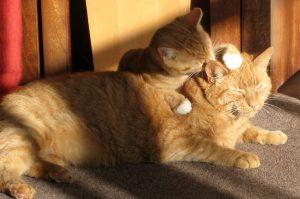 Consejos para cuidar de las orejas del gato