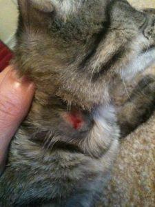 Los ácaros en los gatos, heridas